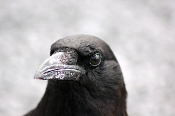 1280px-AMERICAN_CROW_7143675301