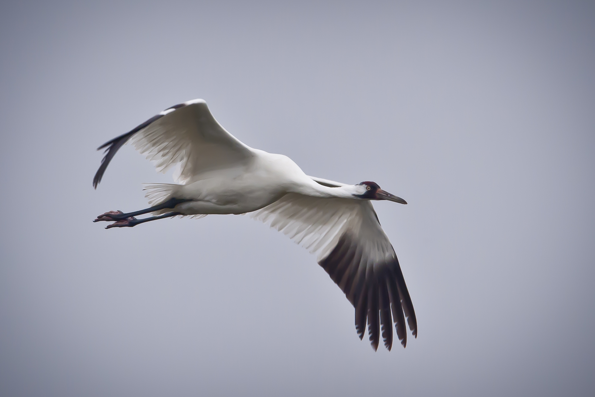 Whooping Crane in flight