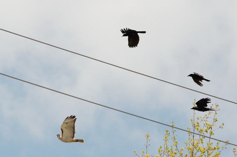 Redtail_hawk_chased_by_crows_4391