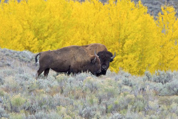 American_Bison_AdF