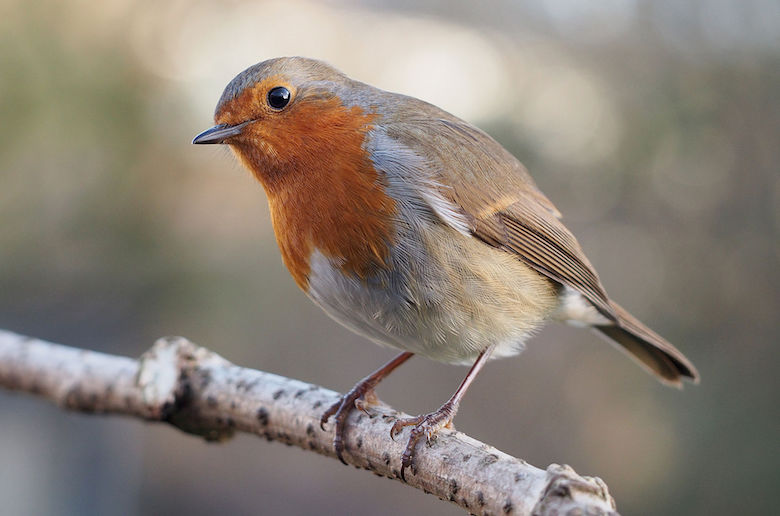 Erithacus_rubecula_with_cocked_head