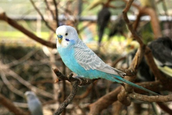 blue-and-white-parakeet