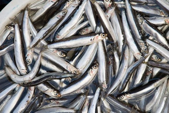 By Paul Asman and Jill Lenoble - anchovies, CC BY 2.0, https://commons.wikimedia.org/w/index.php?curid=25254051