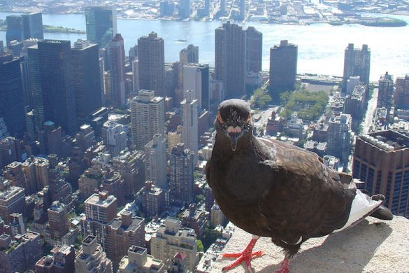 Feral_pigeon_-Empire_State_Building,_New_York_City,_USA-31Aug2008c