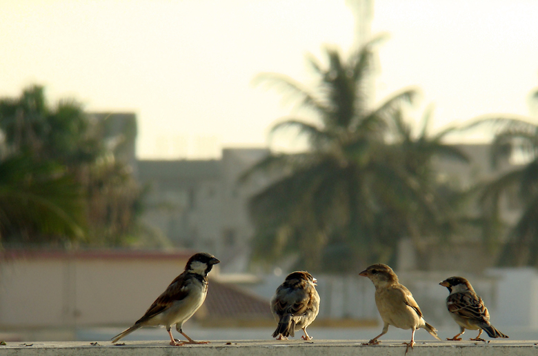 House_Sparrows_in_Pakistan