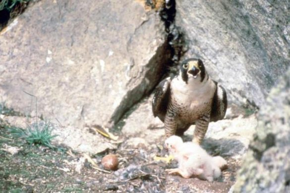 peregrine-falcon-bird-with-chick-in-nest-725x490