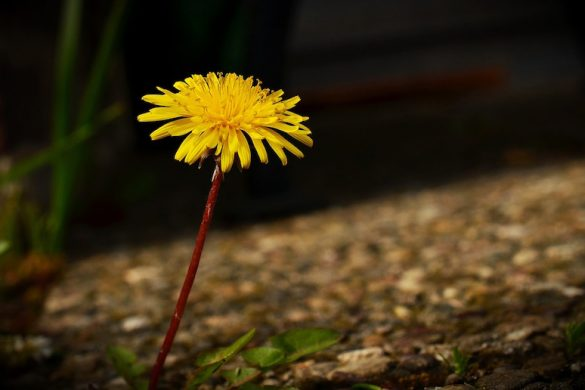 dandelion-1352352_1280